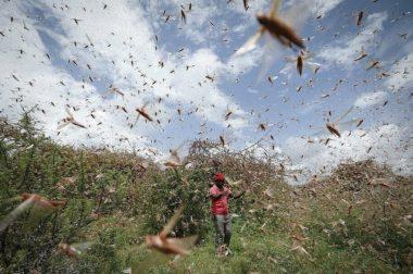 Специалисты ожидают нашествие саранчи в восьми регионах России